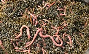Bloodworms are available at Anglers of Annapolis, Maryland