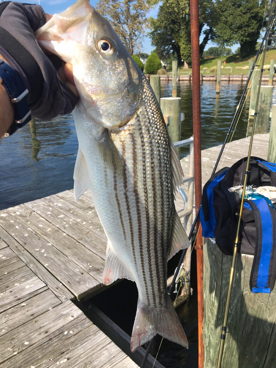 Rockfish caught in St. Marys County.